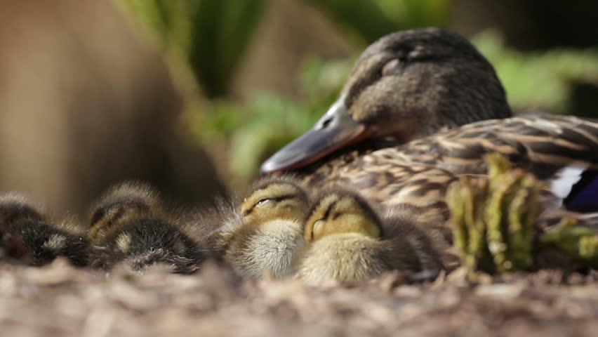 Mallard ducklings sleeping in a huddle while being watched over by mum. One drying off in the background.