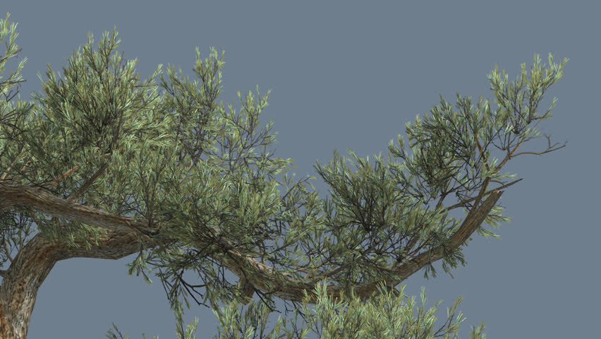 Jeffrey pine, One Branch of Pinus jeffreyi, Tree on Alfa Channel, Alpha Channel, Tree Cut Off a Chroma Key, Coniferous Evergreen Tree is Swaying at the Wind, Glaucous Gray-Green Needle-Like Leaves,