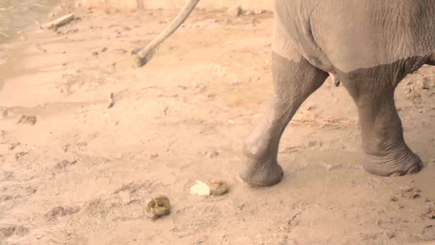 Elephant pooping in slow motion