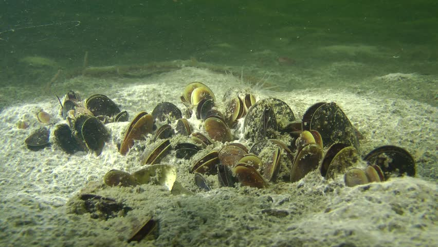 Colony of mussels on the muddy bottom.