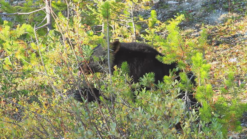 Black Bear foraging for berries
