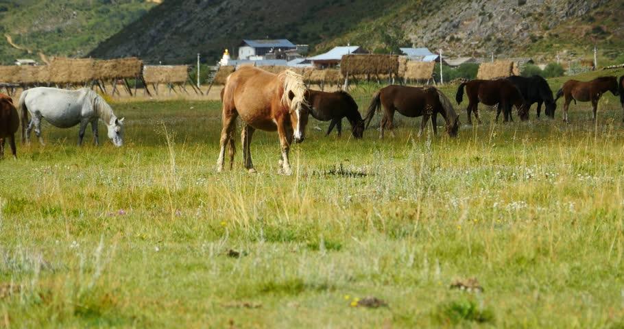 4k horse grazing on the grassland,shangri-la yunnan,china. gh2_10091_4k