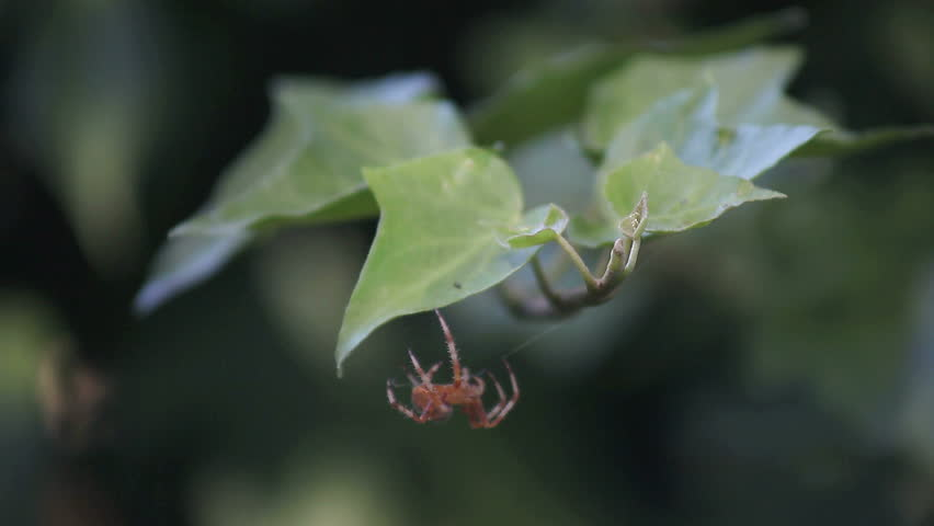 a reddish-brown spider makes its way across an ivy branch