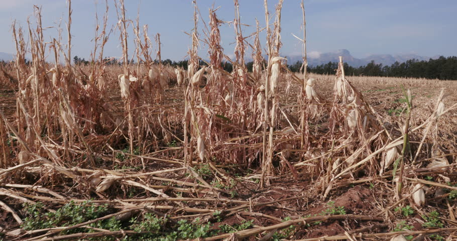 4K Moving shot of corn fields devastated by drought and hail   | Shutterstock HD Video #14903158