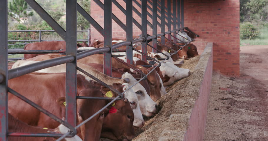 Close-up view of cattle feeding in a commercial feedlot  | Shutterstock HD Video #14903695