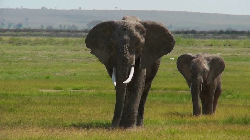 An elephant walks with its baby in Africa.