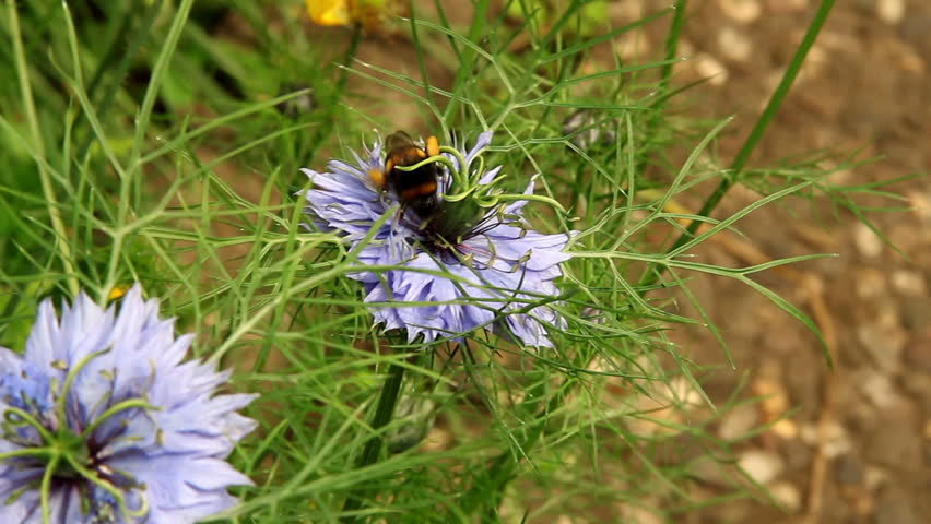 Bumblebe on black cumin bloom - 7 seconds