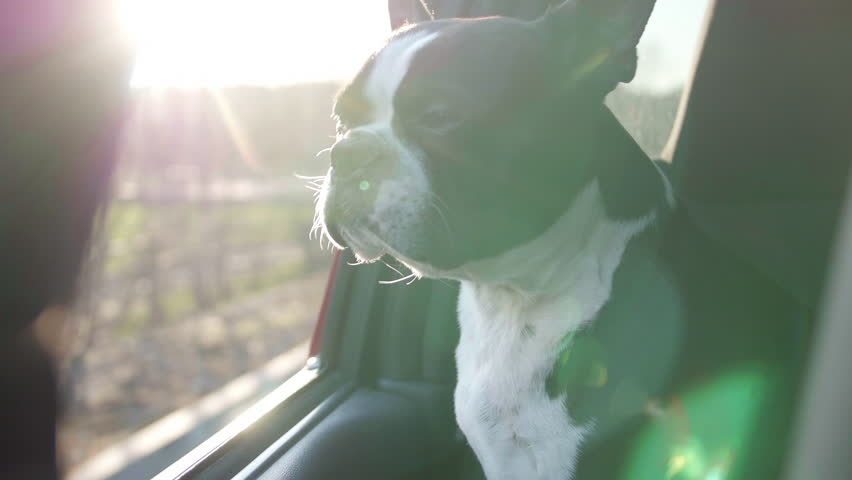 Boston Terrier Dog with Head Out Truck Window on Bumpy Country Road