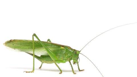 Grasshopper, white background