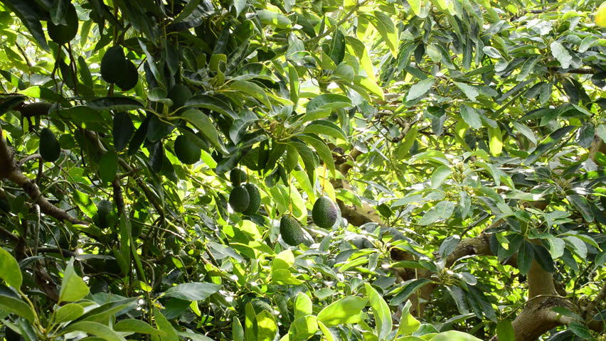 avocado fruit hanging in branch of tree in a plantation of avocados trees hd stock - Growing Avocado Trees