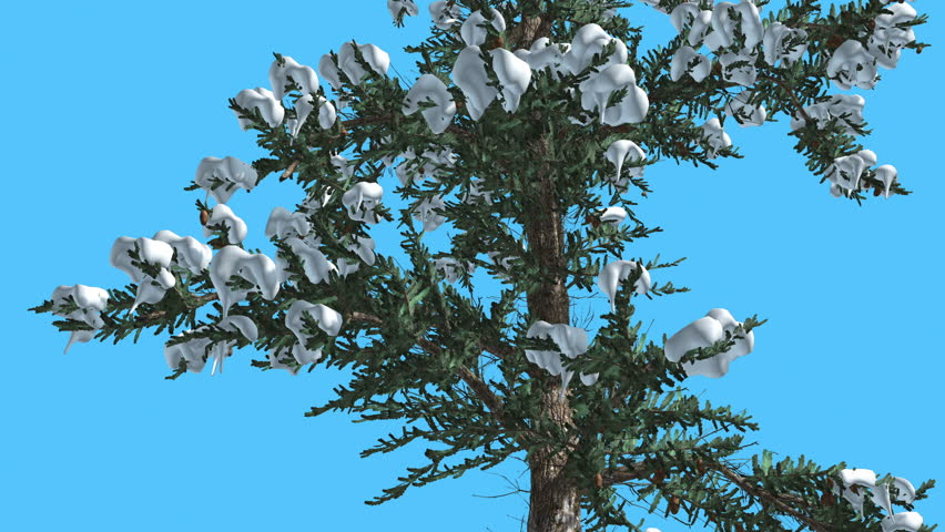 Two white firs top down covered with snow on chroma key alfa white fir thin tree on chroma key alfa blue screen coniferous evergreen sciox Gallery