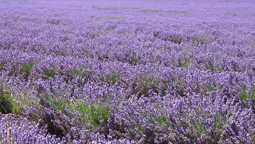 Valensole France Circa July 2017 A Wide View Of Blooming Lavender Field