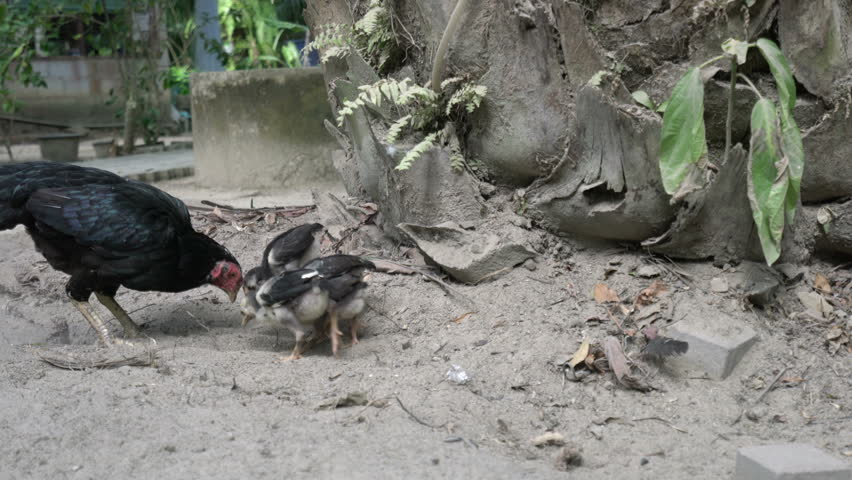 Black hen with chickens. | Shutterstock HD Video #15146125
