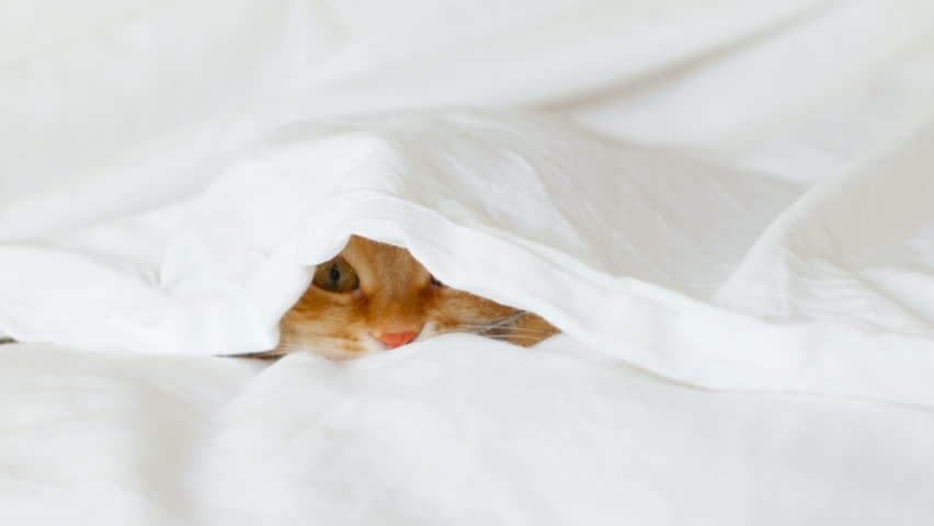 Ginger cat hides in bed under a white blanket. Fluffy pet is going to play.