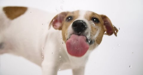 Jack Russell dog licking screen 4k