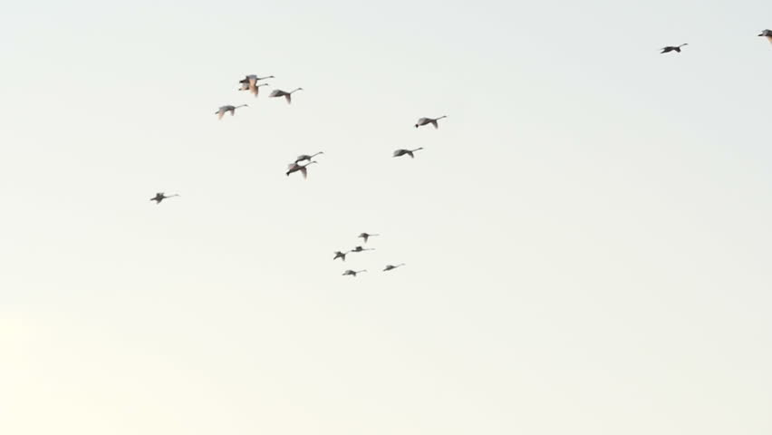 Big flock of swans flying at sunset in slow motion | Shutterstock HD Video #15264625