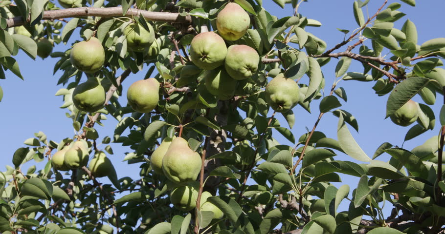 4K Bunch of pears growing on a fruit tree on a large scale commercial fruit farm | Shutterstock HD Video #15266851