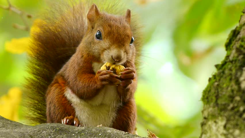 Red Squirrel at the Chestnut, Close Portrait #1526894