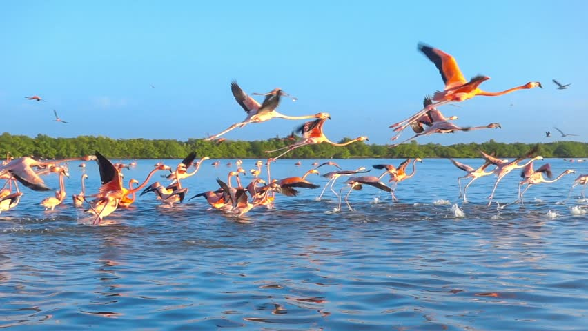 flock of pink flamingos flying on water surface tracking shot slow motion #15271945