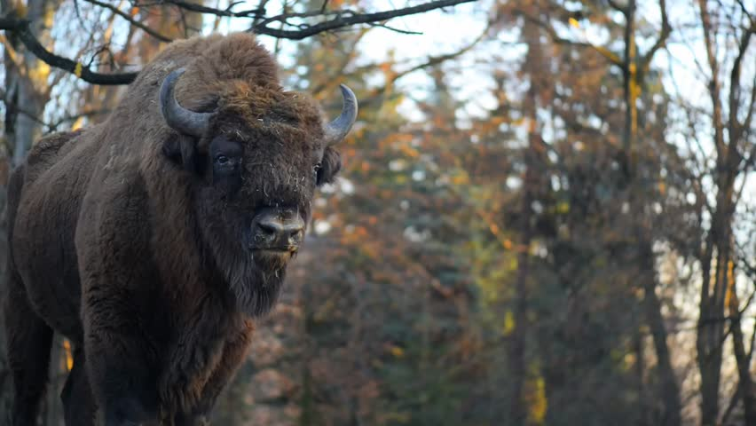 The European bison (Bison bonasus), also known as wisent or the European wood bison, is a Eurasian species of bison. It is one of two extant species of bison, alongside the American bison.