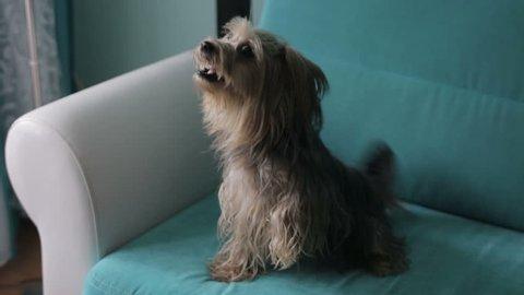 dog pet barks Yorkshire terrier