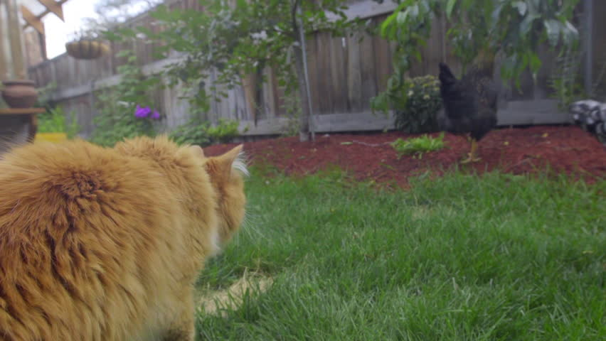 Orange tabby cat chases after a flock of black and white chickens in a backyard garden/farm. Camera is lo and from cat