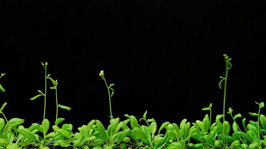 arabidopsis thaliana wwwpixsharkcom images galleries