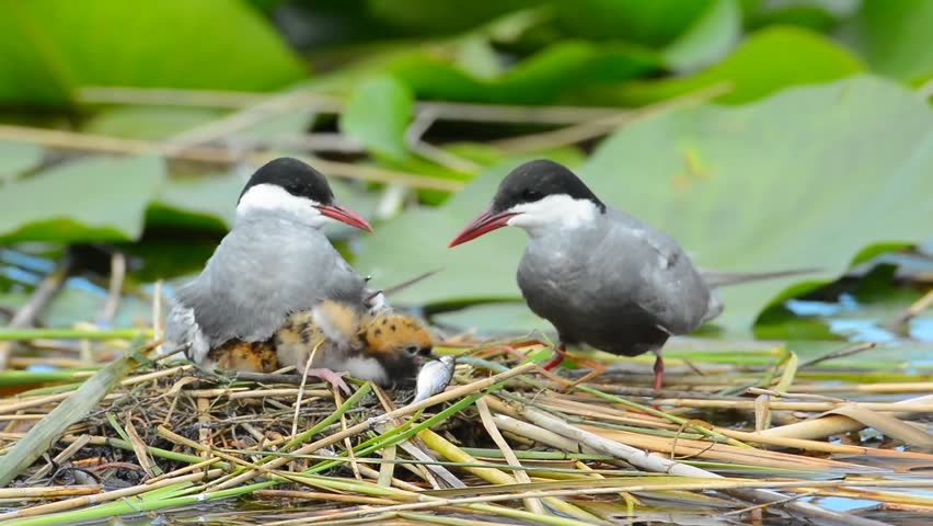 common tern couple feeding its chicks in the nest (sterna hirundo), one of the chicks is trying to swallow fish