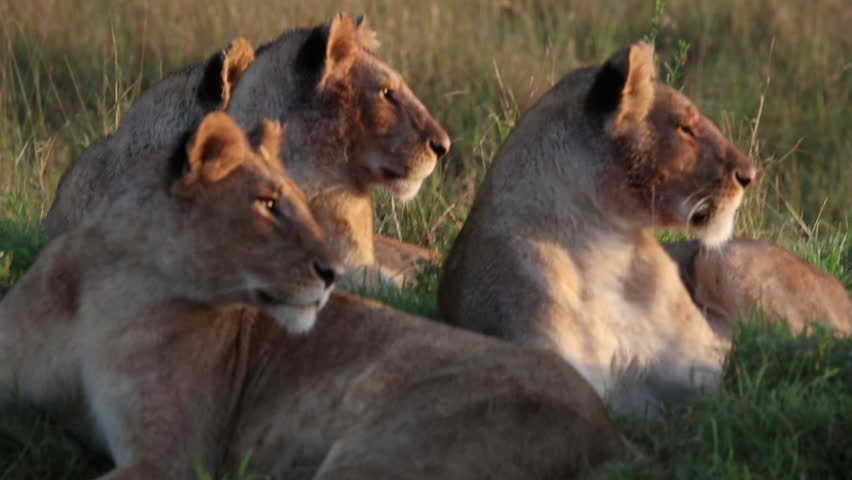 Closeup of an early morning scene with a pack of young cubs in a lion pride resting on a mound on the savanna in the Masai Mara wildlife park in Kenya, East Africa.
