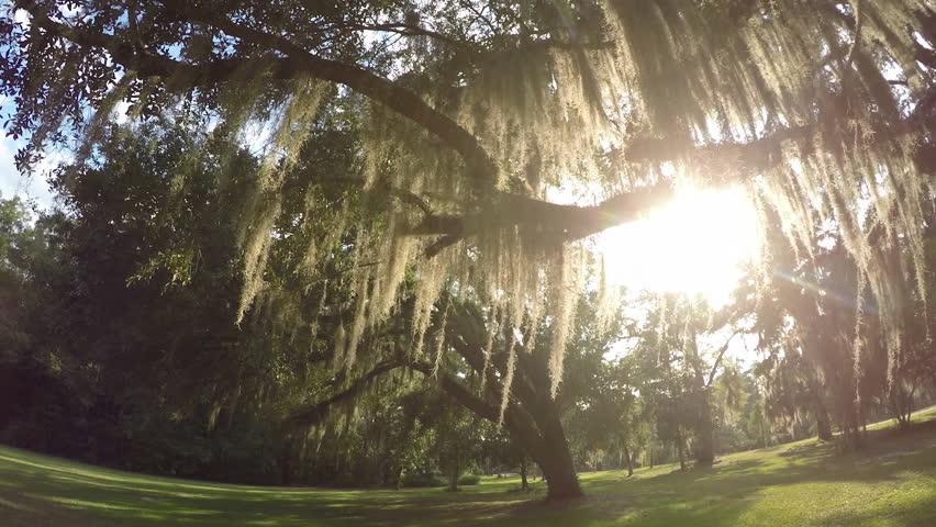 SLOW MOTION CLOSE UP Summer sun shining through live oak tree canopy with beautiful spanish & SLOW MOTION CLOSE UP: Summer Sun Shining Through Live Oak Tree ...
