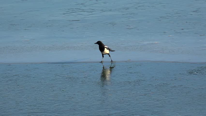 Funny Magpie (Pica Pica) slips on a frozen lake. Summer Palace, Beijing, China.