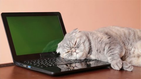 The cat lies near the laptop with green screen.