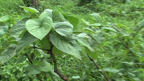 Kava plant at Fiji