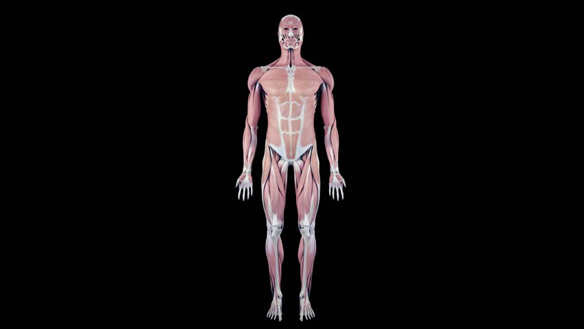 full body scan of human anatomy showing muscles, bones and organs, Muscles