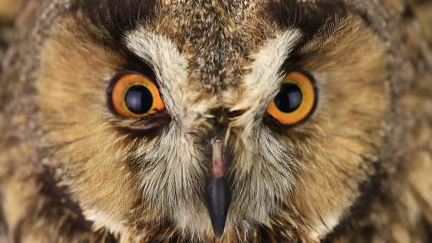 Portrait, look of an owl with closing of eyes | Shutterstock HD Video #15665062