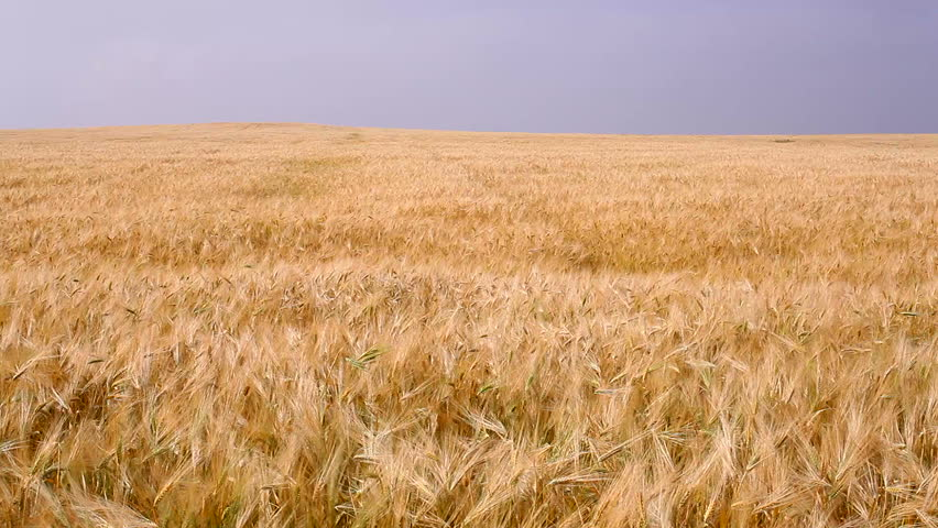 dry grass field background. Dry Grass Field Background A