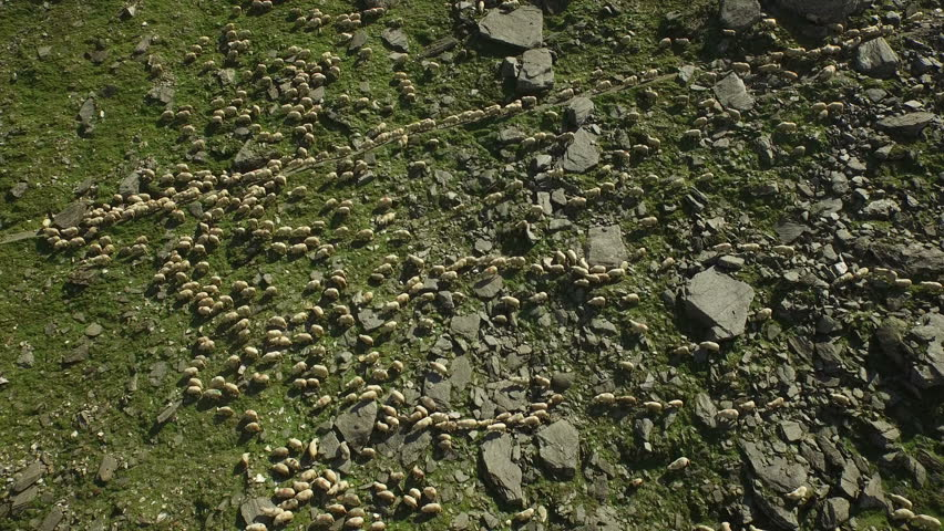 Huge flock of sheep grazing in mountain landscape. aerial view of nature scenery. | Shutterstock HD Video #15720325