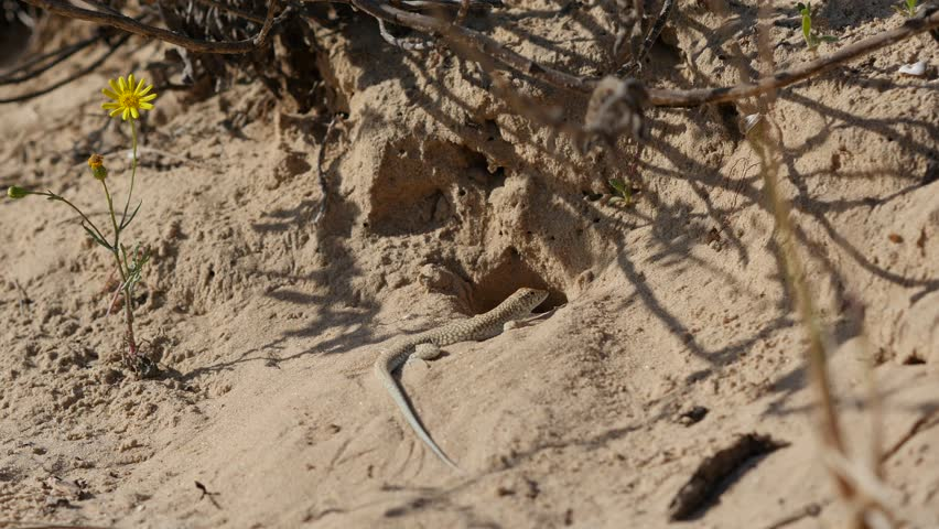 Sand cool blood lizard warming itself up at sunny day out of her shelter - 4K