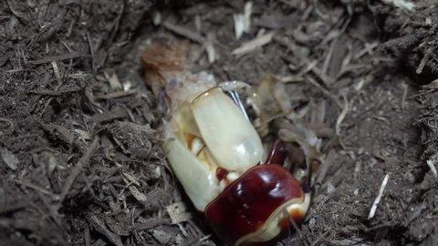 Emergence of Stag Beetle Dorcus titanus Sumatra