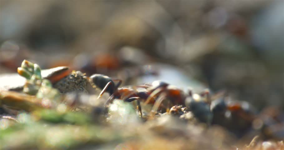 Colony Of Ants Marching On Ground Closeup