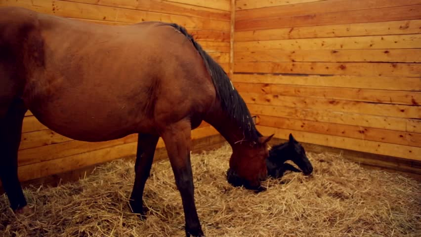 newborn foal and mare in stall