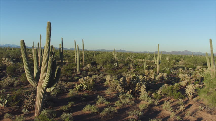 AERIAL CLOSE UP: Flying above big beautiful cactuses in western rocky desert landscape wilderness on sunny morning in hot summer