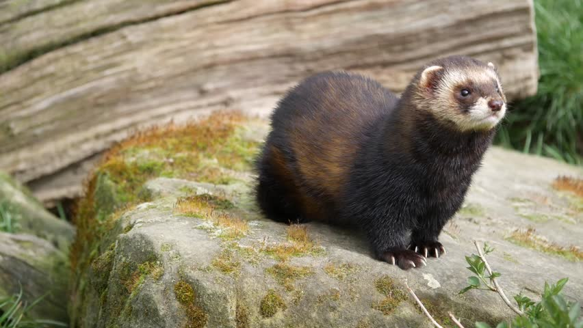 Polecat. Close Up Sitting on a Rock