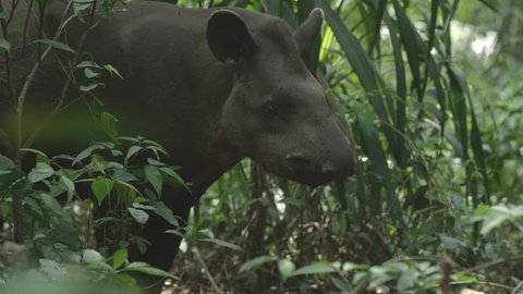 Tapir in forest, wonderful wild animal, shot with RED cinema camera