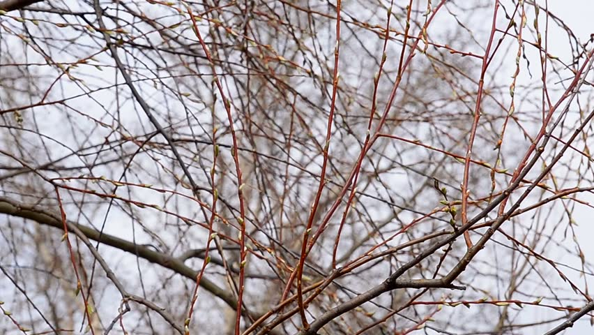 Pussy-willow on the sky background in spring. | Shutterstock HD Video #15821935