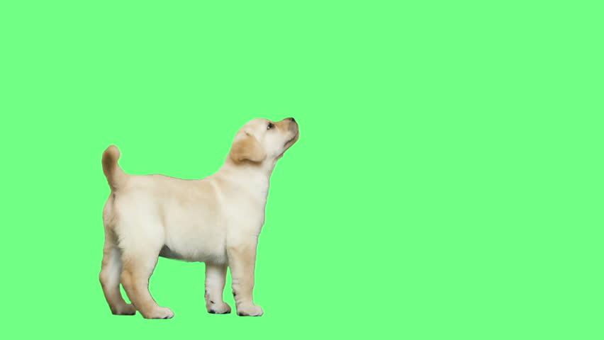 playful labrador puppy standing on a green screen