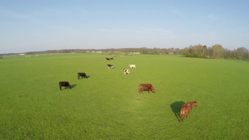 Aerial flying over cattle of mixed species cows Holstein cows and Aberdeen Angus cows arriving at group small cute just born calf jumps out of herd just able to stand beautiful aerial blue sky 4k