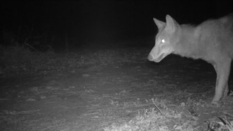 Coyote digging in animal burrow, hoping to eat the occupant. Coyote (Canis latrans) is a wild canine of North and Central America. It is adapted to both Wild and Metropolitan areas.
