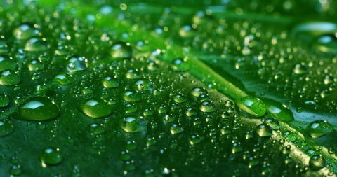 rain drops on tropical leaf in soft slow motion