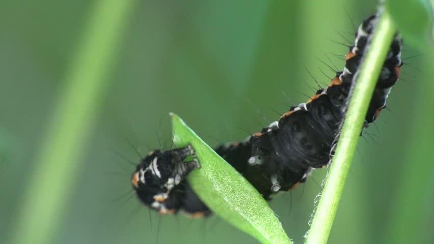 vanessa butterfly larvae - 852×480